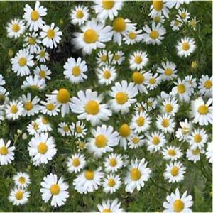 Herb Seeds - Chamomile German - 20,000 Seeds