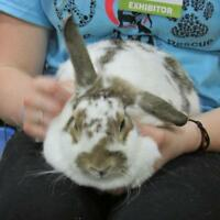 "Adult Female Rabbit - Lop Eared: ""Paisley"""