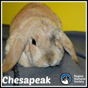 "Adult Female Rabbit - Lop Eared: ""Chesapeak"""