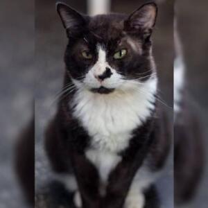 "Adult Male Cat - Domestic Short Hair: ""Tuxedo"""