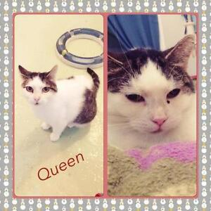 "Adult Female Cat - Domestic Short Hair: ""Queen"" West Island Greater Montréal image 1"