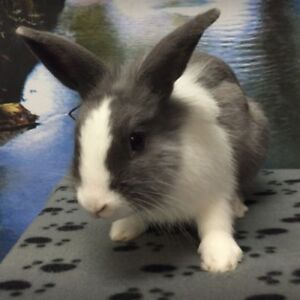 "Young Male Rabbit - Dutch: ""Dandelion"""