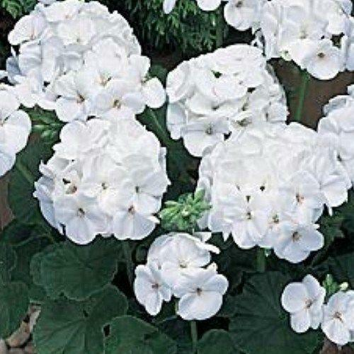 Geranium plants ebay - How to care for ivy geranium ...