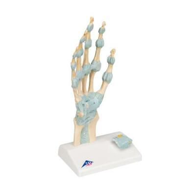 3b Scientific Hand Skeleton Model With Ligaments Carpal Tunnel M33 New