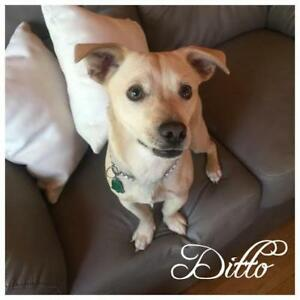 "Young Male Dog - Chihuahua-Labrador Retriever: ""Ditto"""