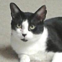"Adult Male Cat - Domestic Short Hair-black and white: ""Oscar"""