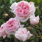 Clay Temperate Roses