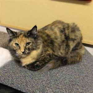 "Young Female Cat - Domestic Short Hair: ""Muffin"""