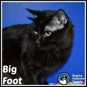 "Adult Male Cat - Domestic Medium Hair: ""Big Foot*"""