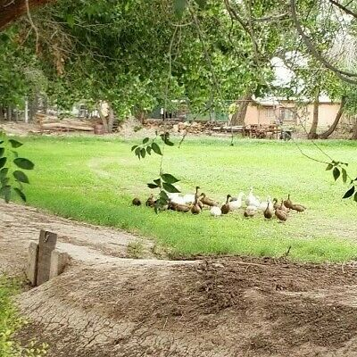 12 Best Barnyard Mix Duck Hatching Eggs Khaki Campbell Swedish Pekin