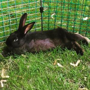 """Young Female Rabbit - New Zealand: """"Olive"""" Cambridge Kitchener Area image 1"""
