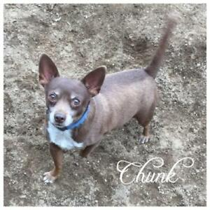 "Adult Male Dog - Chihuahua: ""Chunk"""