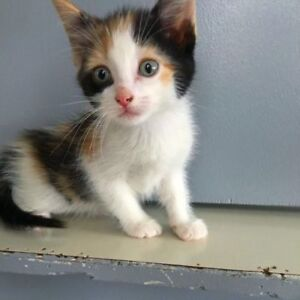 "Baby Female Cat - Domestic Short Hair: ""Jackie"""