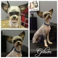 "Adult Male Dog - Yorkshire Terrier Yorkie-Poodle: ""Gibson"""