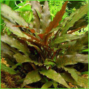 Crypt Wendtii Brown - Aquatic Plant