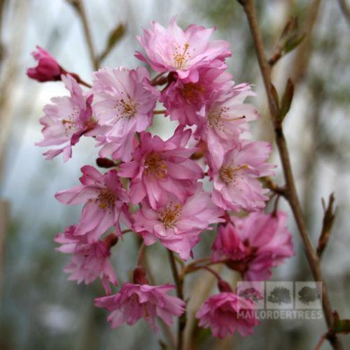 Flowering Cherry Trees Ebay