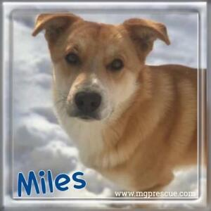 "Young Male Dog - Labrador Retriever: ""Miles"""
