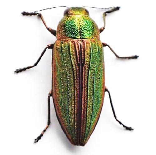 Buprestis aurulenta real red green buprestid beetle Guatemala unmounted