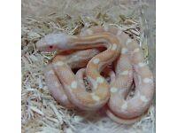 Albino White Sided Black Rat Snake