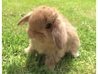 Beautiful Baby Mini Lop Rabbits For Sale