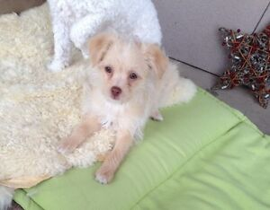 toy poodle/chihuahu - male