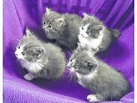 Beautiful grey and white fluffy kitten