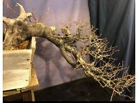 Quality Yamadori Prunus Mahaleb Semi Cascade Bonsai
