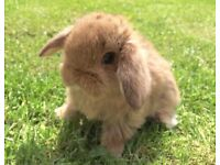 Gorgeous Baby Mini Lop Rabbits for Sale