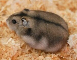Russian Hamsters for sale (females)