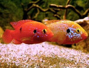 BLOOD RED JEWELS ADULTS AND JUVENILES
