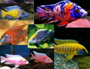 A Variety of African Cichlids available now on special !
