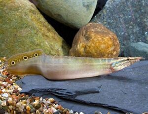 Spiny peacock eel