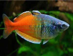 RARE RAINBOWFISH COLLECTION!