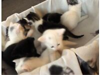Kittens : 2 left available ; ready on24 September