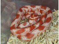 Beautiful Baby Amel Corn snake