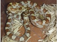 Stunning Gold Dust and Plated Corn Snakes