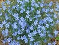 Linum Blue Flax 250 Seeds -  - ebay.co.uk