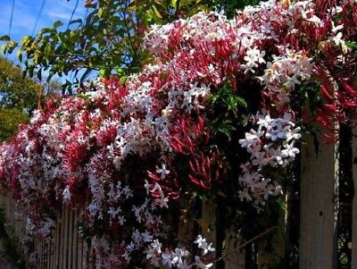 5 Climbing Red Jasmine Seeds Rare Tropical Fragrant Flower Perennial - Tropical Flower