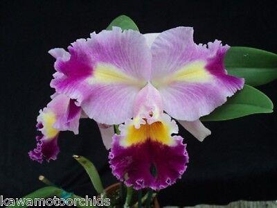 Bin Rlc  Oprah Winfrey Chadwick Limited  Fragrant  Very Attractive  Collectors