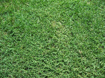 Bermuda Grass Seed, Hulled and Coated, (1 Lb. Pack), Drought Tolerant Lawn (Bermuda Grass Lawns)