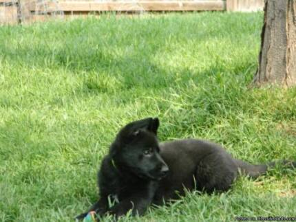 Premium Purebred Black German Shepherd Female Pup