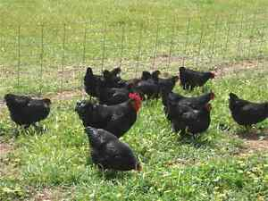 Purebreed Large Black Australorp Fertile Eggs For Sale  $15 a Doz Adelaide CBD Adelaide City Preview