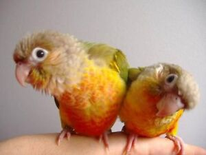 baby pineapple conure parrot very friendly special at T T PETS