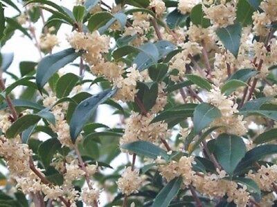 Fruitlands Fragrant Tea Olive ( osmanthus ) - Live Plant - Trade Gallon Pot Fragrant Tea Olive