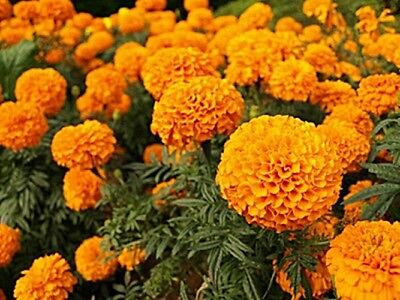 MARIGOLD --- 100+ Fresh Seeds --- GIANT ORANGE --- Hand Grown/Packed in USA!
