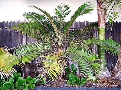 Lytocaryum Hoehnei Palm Live Plant 3 Gal  Miniature Coconut Palm