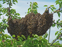 Honey bees removal