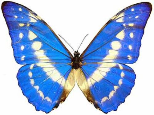 ONE REAL BUTTERFLY BLUE WHITE MORPHO CYPRIS UNMOUNTED WINGS CLOSED COLOMBIA