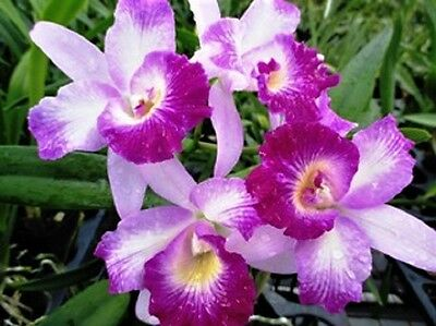 (BIN-Blc. Mari's Glory 'H&R' Easy to Grow! Beautiful Tri-Color-Fragrant Cattleya)