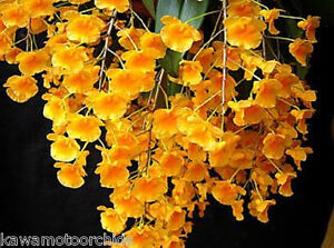 BIN- 2-plants-Dendrobium aggregatum -Fragrant Species! Fantastic! Collector's